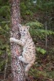 Лев Cub горы вверх по дереву стоковые фотографии rf