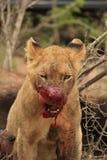 Лев Cub крови испытывающий жажду Стоковые Изображения RF