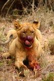 Лев Cub крови испытывающий жажду Стоковые Фото