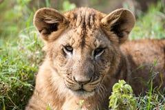 Лев Cub кладя в траву Стоковые Фотографии RF