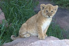 Лев Cub пряча в траве на Serengeti стоковые фотографии rf