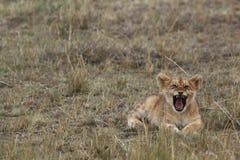 Лев Cub ревя Стоковое Изображение RF
