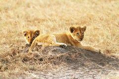 Лев Cubs Mara Masai Стоковые Фотографии RF