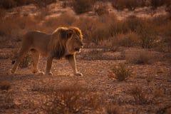 Лев Kalahari на патруле стоковое изображение rf