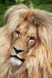 Лев Katanga (bleyenberghi leo пантеры) стоковое изображение