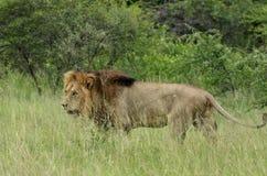 Лев (krugeri leo пантеры) Стоковая Фотография