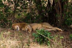 Лев Napping, кратер Ngorongoro Стоковые Фото