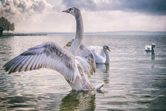 Легендарный лебедь стоковые фото