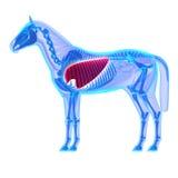 Легкие лошади - анатомия Equus лошади - изолированные на белизне иллюстрация штока