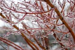 Ледистые красные ветви во время шторма зимы Стоковая Фотография
