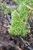 ледистый мох Стоковое Фото