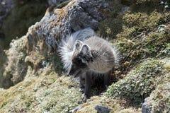 ледовитая лисица стоковая фотография rf