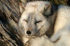 ледовитая лисица Стоковое фото RF