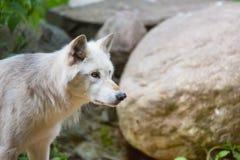 Ледовитые взгляды волка умышленно на цели Стоковые Изображения RF