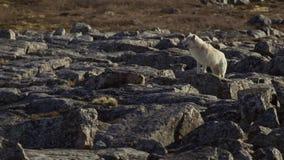 Ледовитые волки, волк бегут на табуне, пробуя потопить вне слабое или медленное Северная Канада стоковая фотография rf