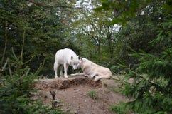 ледовитые волки стоковое фото