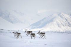 ледовитые северные олени Стоковые Фотографии RF