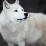 ледовитый волк волчанки canis arctos Стоковое фото RF