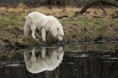 ледовитый волк волчанки canis arctos Стоковые Изображения RF