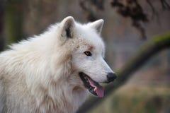 ледовитый волк волчанки canis arctos Стоковые Фотографии RF