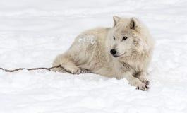 Ледовитый волк лежа на снеге стоковое изображение rf