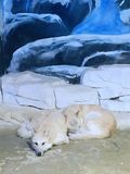 Ледовитый волк поглощенный в стеклянном доме стоковые фотографии rf