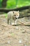 ледовитый волк щенка Стоковое Изображение RF
