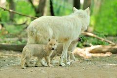 ледовитый волк Стоковая Фотография RF