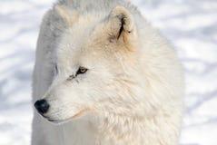 ледовитый волк стоковые фотографии rf