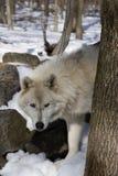 ледовитый волк iv Стоковая Фотография