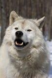 ледовитый волк v Стоковые Фото