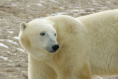 ледовитый медведь приполюсный Стоковые Изображения RF