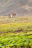 Ледовитый северный олень Стоковая Фотография