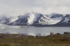 Ледовитый северный олень Стоковая Фотография RF