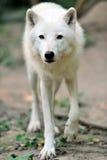 Ледовитый щенок волка Стоковая Фотография
