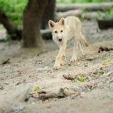 Ледовитый щенок волка Стоковые Фото