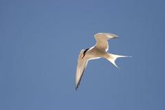 ледовитый tern грудин paradisaea Стоковое Изображение RF