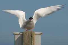 ледовитый tern Стоковые Изображения