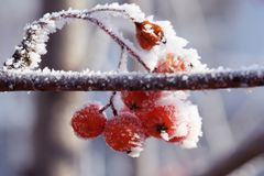 Ледяные ягоды рябины в заморозке стоковая фотография rf
