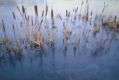 Лед & тростники стоковое фото rf