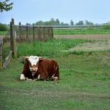 Лежать коровы мужской на траве Стоковое фото RF