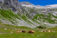 Лежать коровы Стоковое Фото