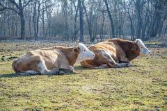 Лежать 2 коров Стоковые Фотографии RF
