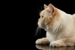 Лежать кота британцев Shorthair крупного плана бежевый, смотря вверх, изолированная чернота Стоковая Фотография RF