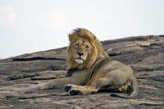 Лежать на льве утеса в запасе Mara Masai в Кении Стоковое фото RF