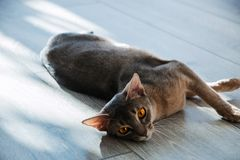 Лежать породы кота абиссинский на поле в солнечном свете стоковые изображения rf