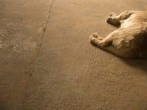 Лежать собаки золотого Retriever Стоковое Фото