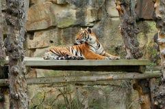 Лежать тигра Стоковые Фото