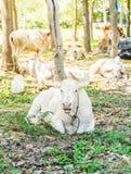 лежать травы коровы Стоковое Изображение