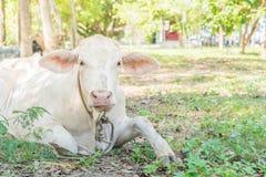 лежать травы коровы Стоковое Изображение RF